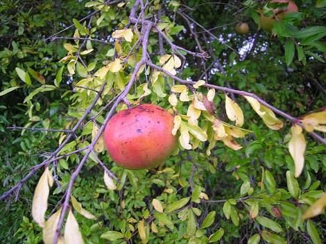 Granatapfel Ramo