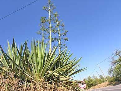 agave algarve