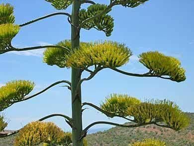 algarve agave