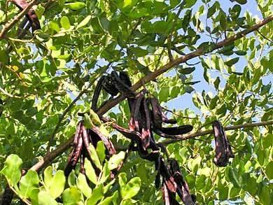 Johannisbrot Frucht