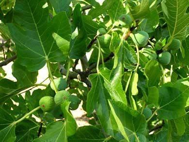 feigenbaum algarve