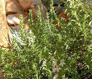 bohnenkraut in der algarve