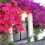 Bougainvillea Algarve