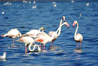 Flamingos Ria Formosa Algarve