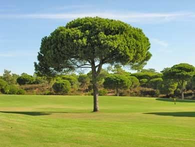 Golfplatz Pinie