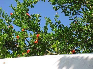 Granatapfel Algarve