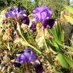 Iris Lirio Algarve