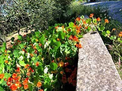 Kapuziner Kresse Portugal