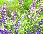 Kräuter für den Algarve-Garten