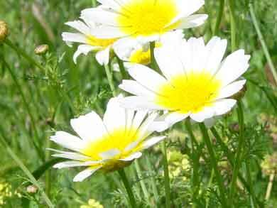 kornwucherblume