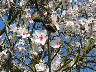 Mandel Baum Blüte