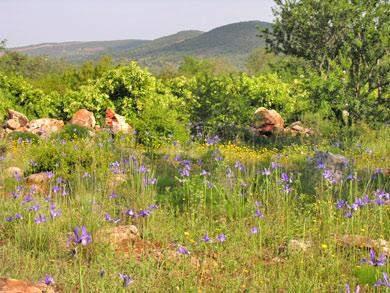 Iris algarve Gynandriris sisyrinchium L.