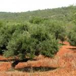 Algarve Trees