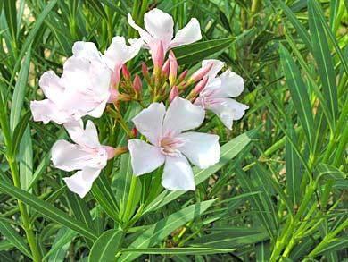 Weisse Oleander Blüte