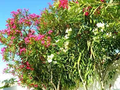 Oleander Algarve