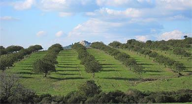 Oliven Alentejo Portugal