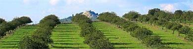 Algarve Olive trees