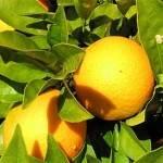 Orangen im Algarve