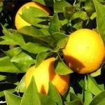 Orangen Algarve
