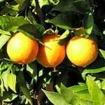 Orangenzeit Algarve