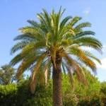 Palmen in der Algarve und Portugal