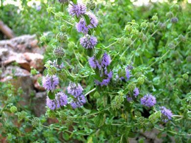 Poleiminze Algarve Pulex Pulegium