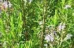 rosmarin-der-naturkosmetik