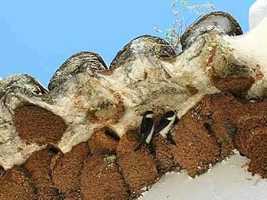 schwalben nest am haus algarve