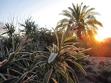 oleander-frost-algarve