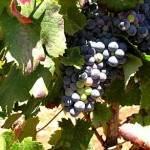 Wein Algarve