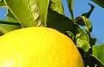 Zitronen im Algarve