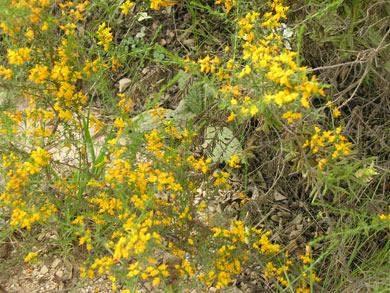 getrockneten gelb-weisslichen Blüten Algarve