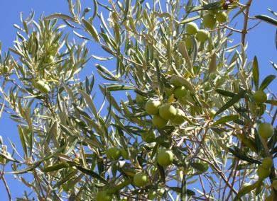 Naturkosmetik Oliven