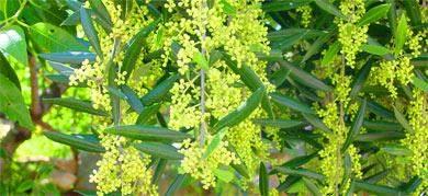 blüten des Olivenbaumes in der algarve