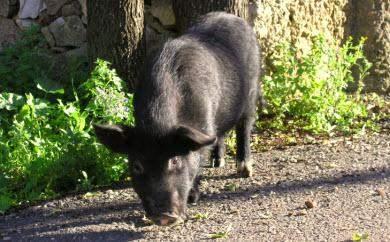 schwein porco algarve