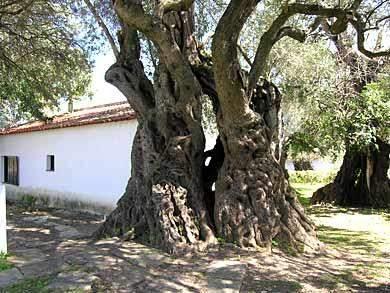 Ältester Olivenbaum Portugals