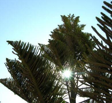 1'300 - 2'000 Algarve Araukarien