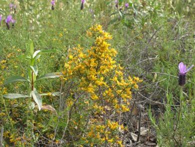 Pterospartum tridentatum (L.) Willk.*.