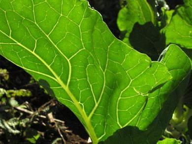kohl caldo verde algarve