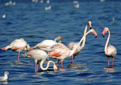 flamingos in der algarve