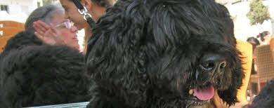 wasserhund portugiesischer