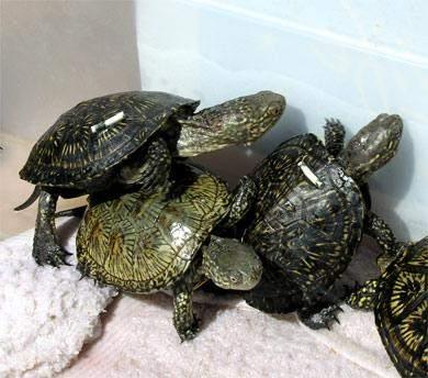 Schildkröten an der Algarve