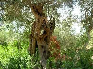 Alter Olivenbau Algarve