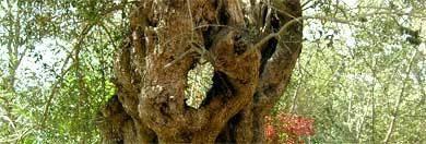 olivenbaum algarve