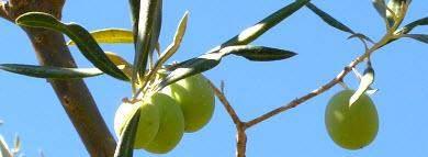 neue olivenernte algarve