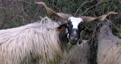 Schafsrasse mit schwarzen Farbelementen