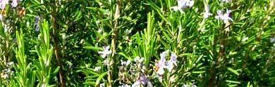 rosmarin busch in der algarve