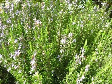 rosmarinbusch algarve schopflavendel