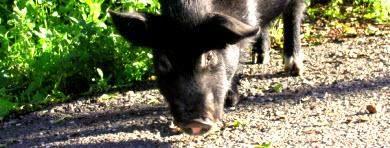 Matança de Porco