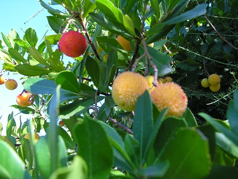 Erdbeerbaum Medronho